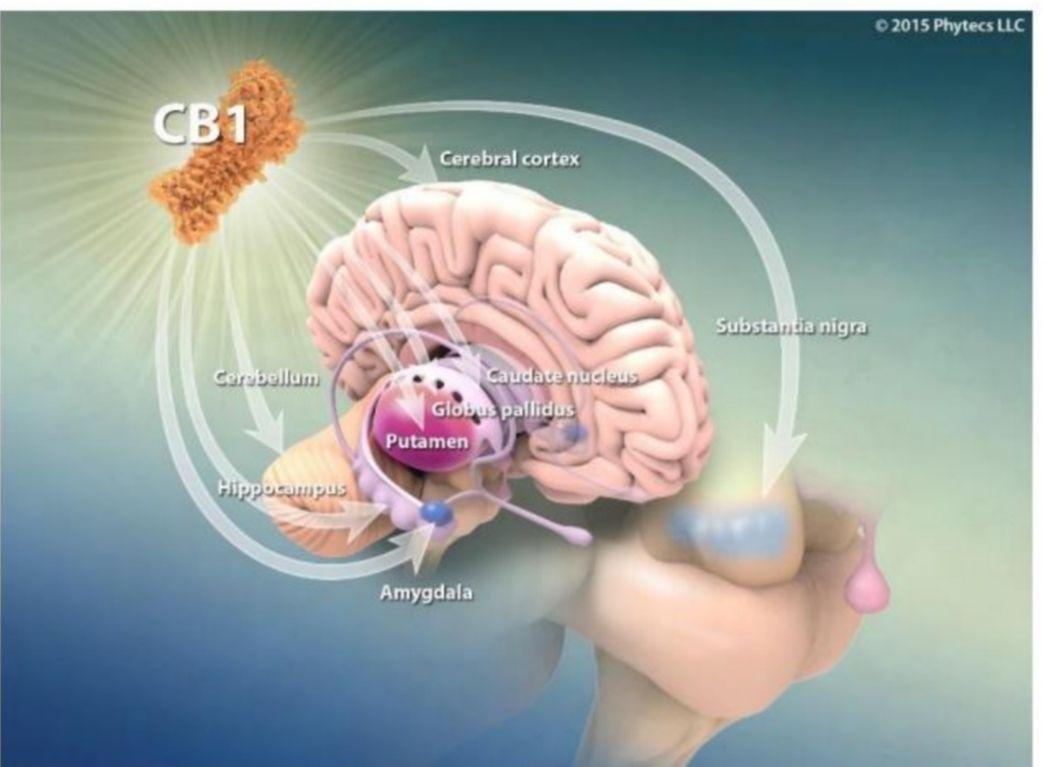 Nuestro maravilloso y desconocido sistema endocannabinoide