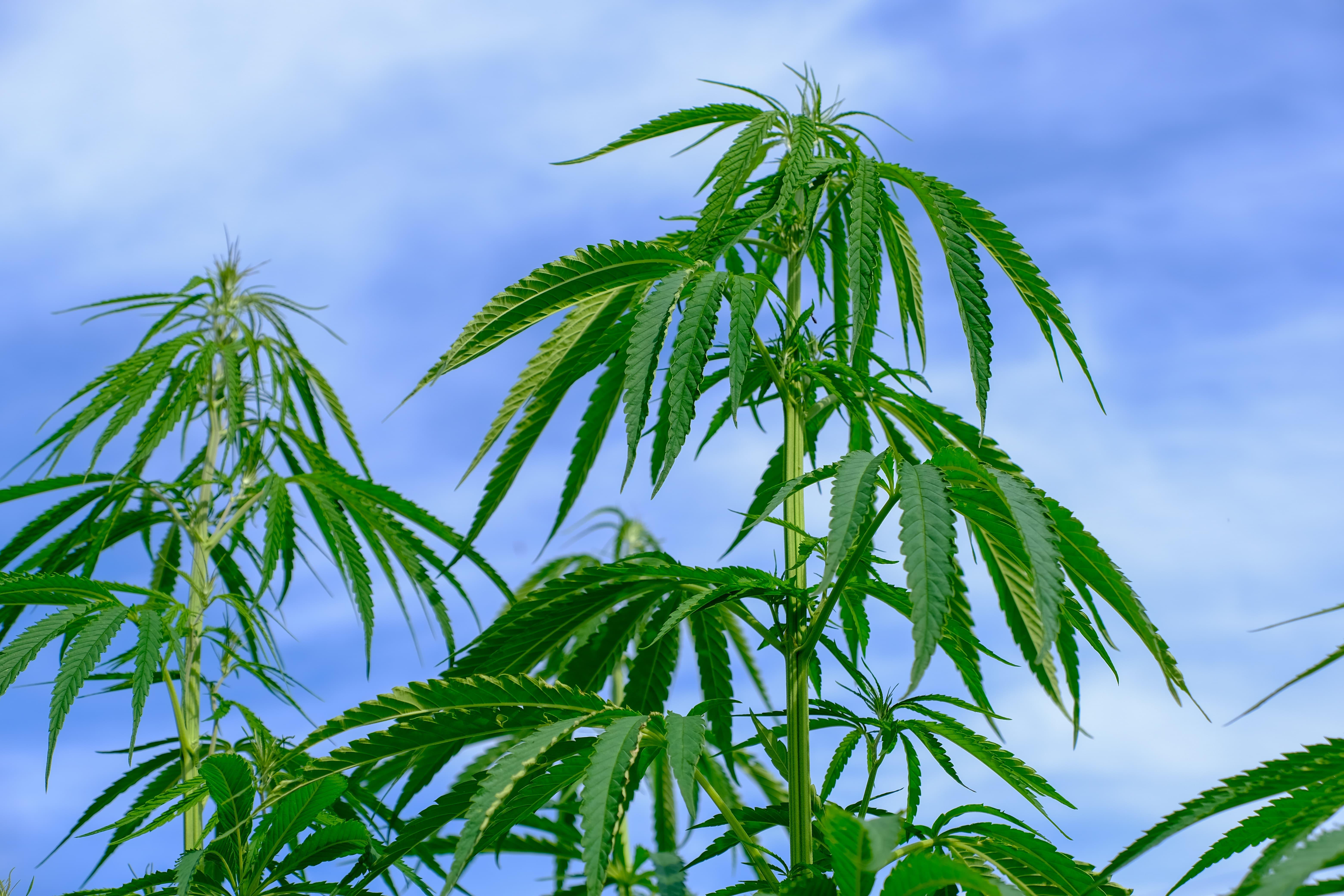 Guía fácil para autocultivar cannabis en casa
